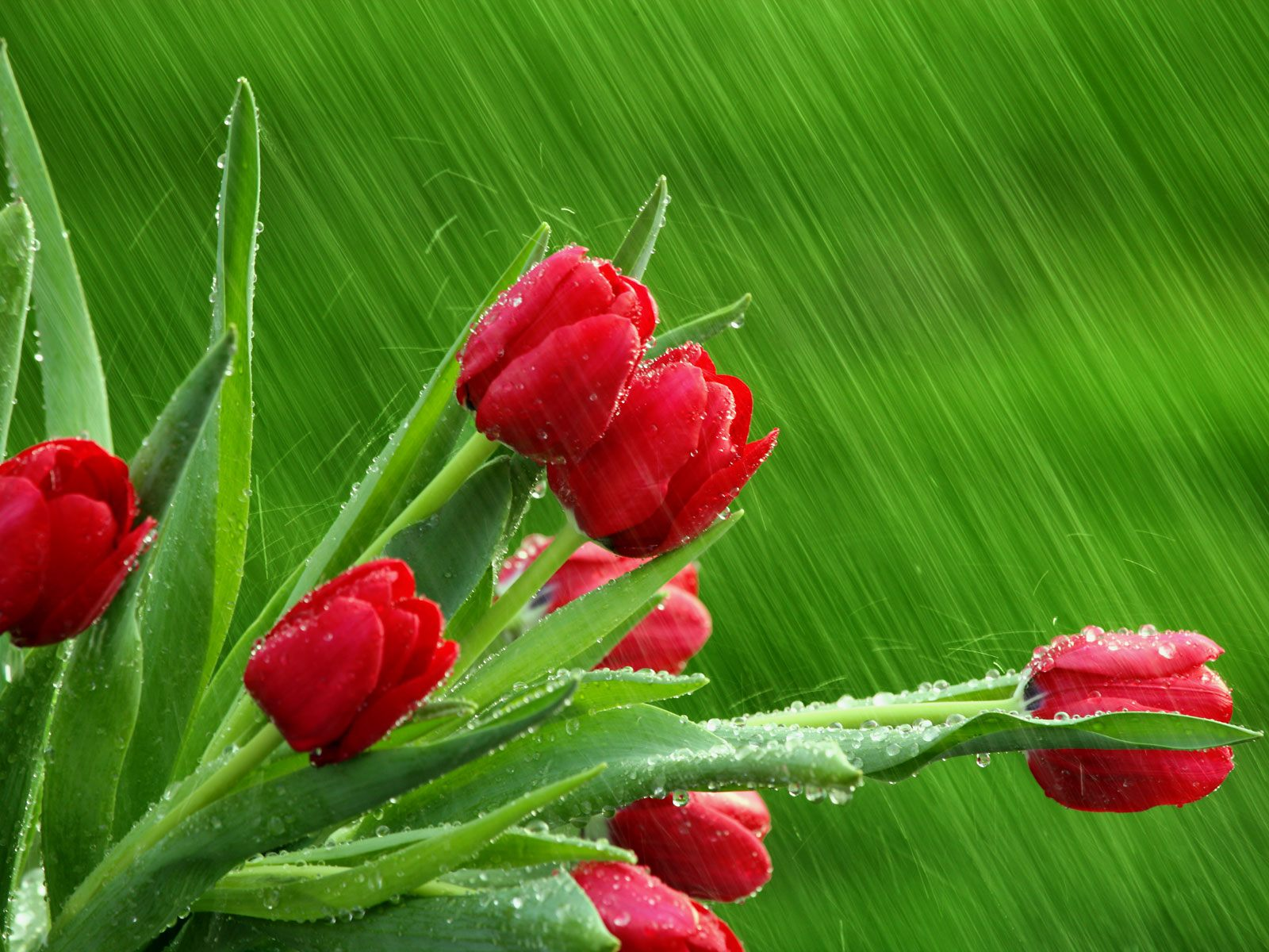 Red Tulips flower wallpaper