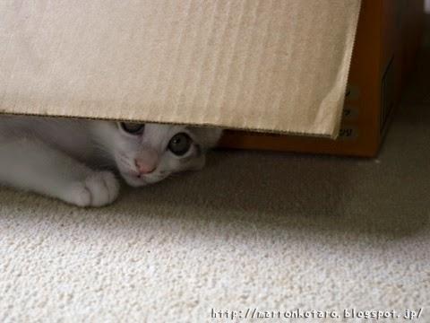 隠れて狙う仔猫