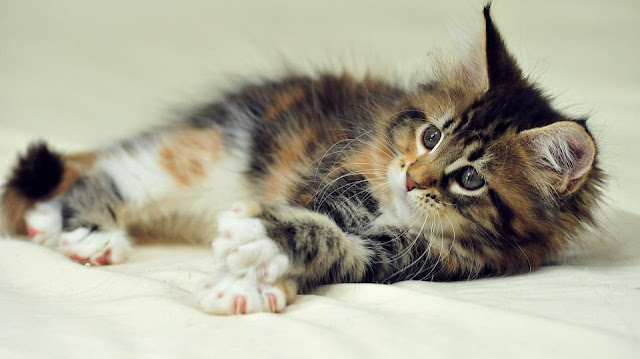 Health problems in Maine Coon Cat