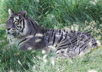 Черный лев фото  Фото мир природы