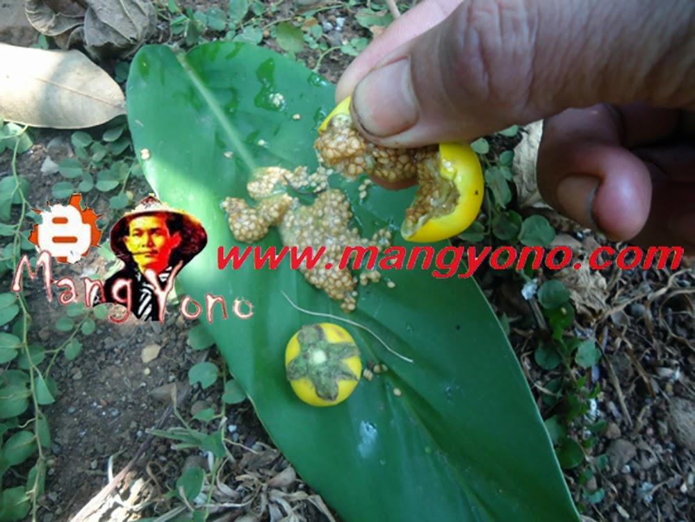 Keluarkan biji terong kuning dari buah