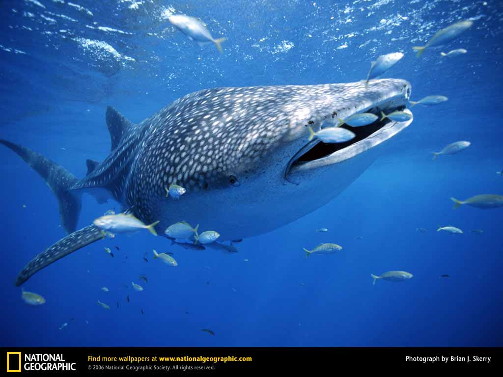 HQ Wallpapers: Whale Shark Wallpapers