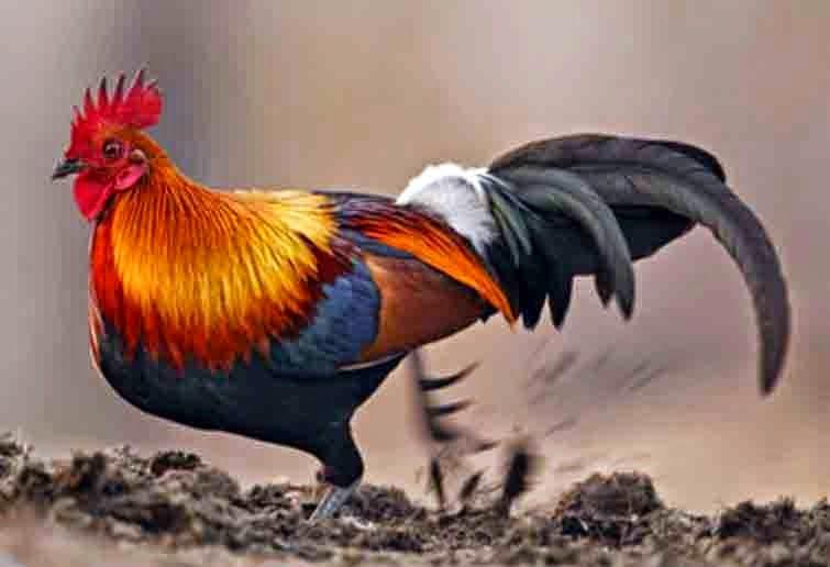 Foto Burung Bekisar Jantan