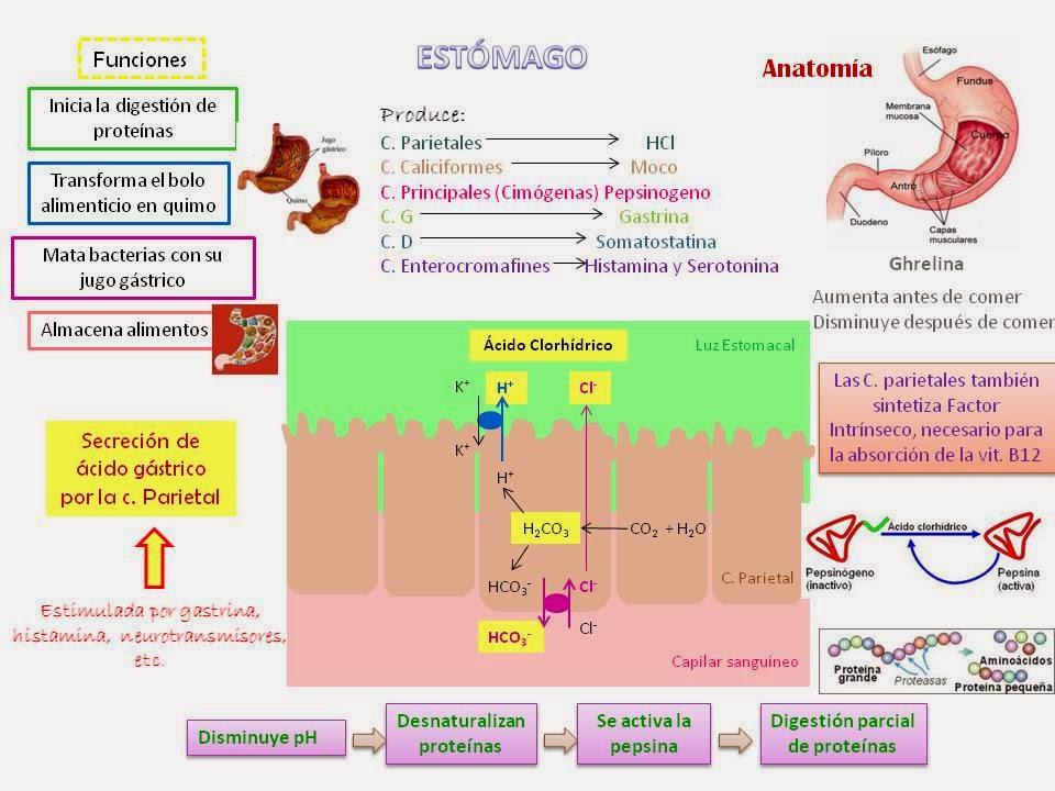 Famoso Anatomía Y Fisiología De La Anemia Molde - Imágenes de ...