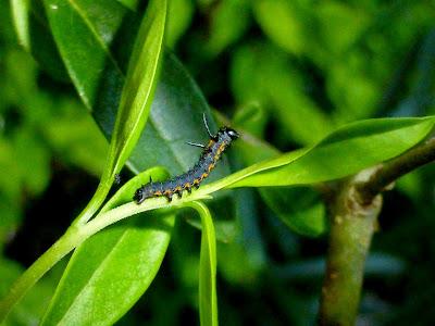 Acanthobrahmaea europaea caterpillar