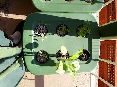 Eggplant and Tomato hydroponics