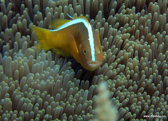 Желтый Anemon fish с полосой на спине