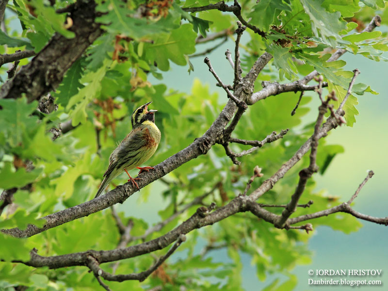 Cirl Bunting photography