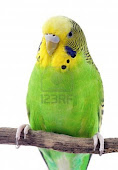 Normal Budgie (Green& Yellow) RM60