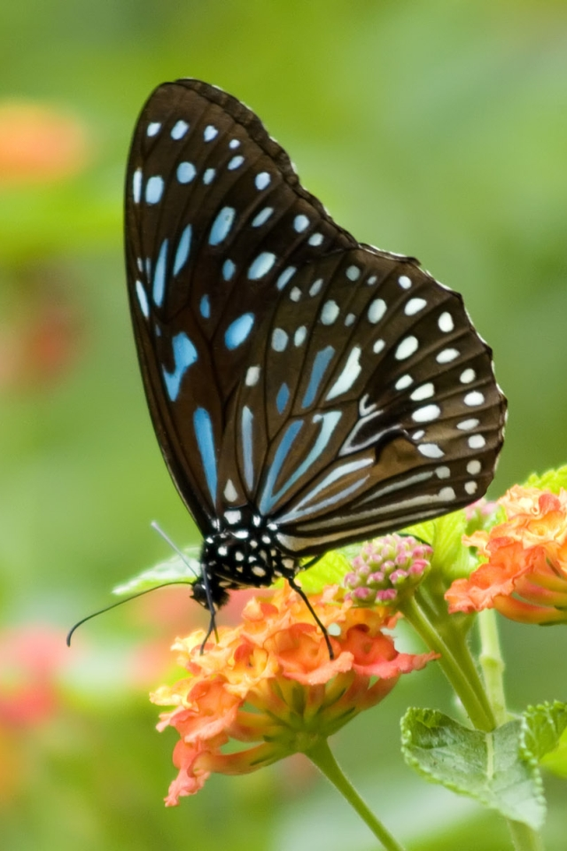 Mobile Wallpaper: Butterfly Animal Iphone Wallpaper