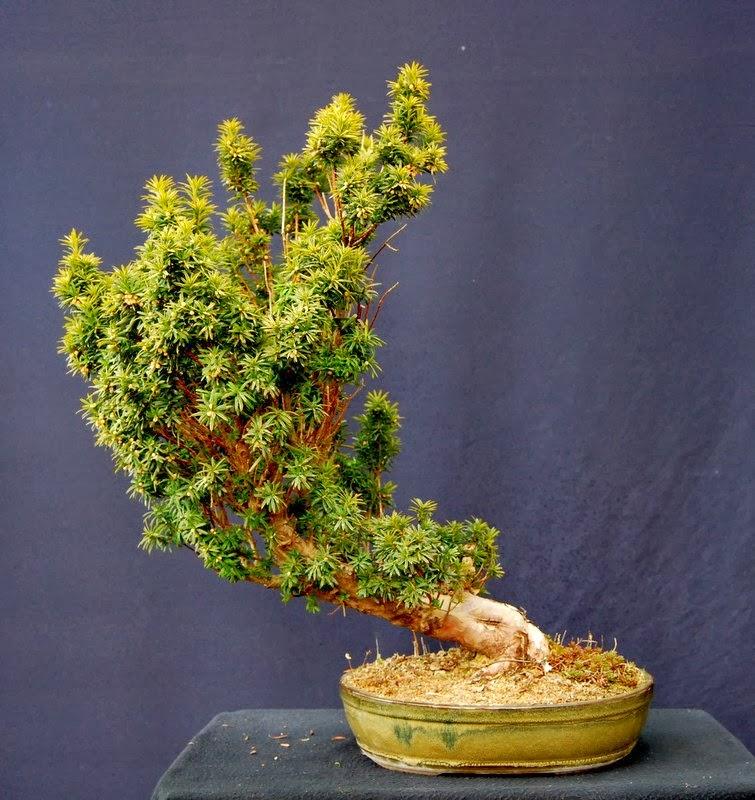 Bonsai Gestalten jupp`s bonsai- blog: eibe gestalten.. was mache ich nur