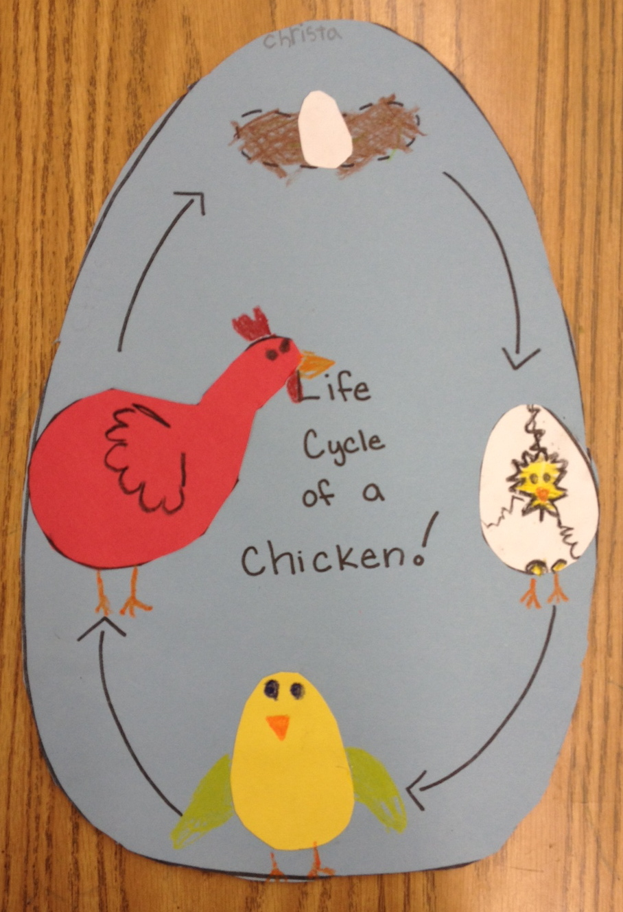 here is the finished product of the life cycle of a chicken that we
