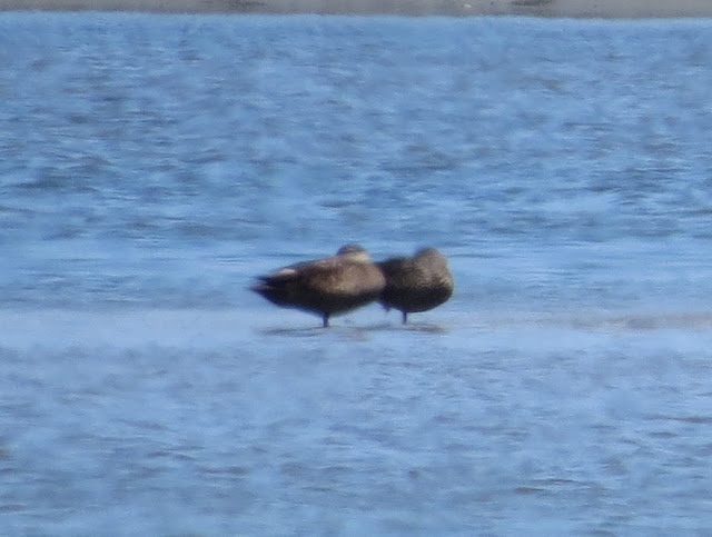 Black Ducks - Jamaica Bay, New York