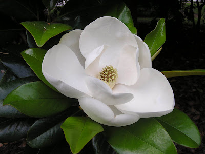 Southern magnolia flower wallpapers wallpapers screensavers - Magnolia background ...