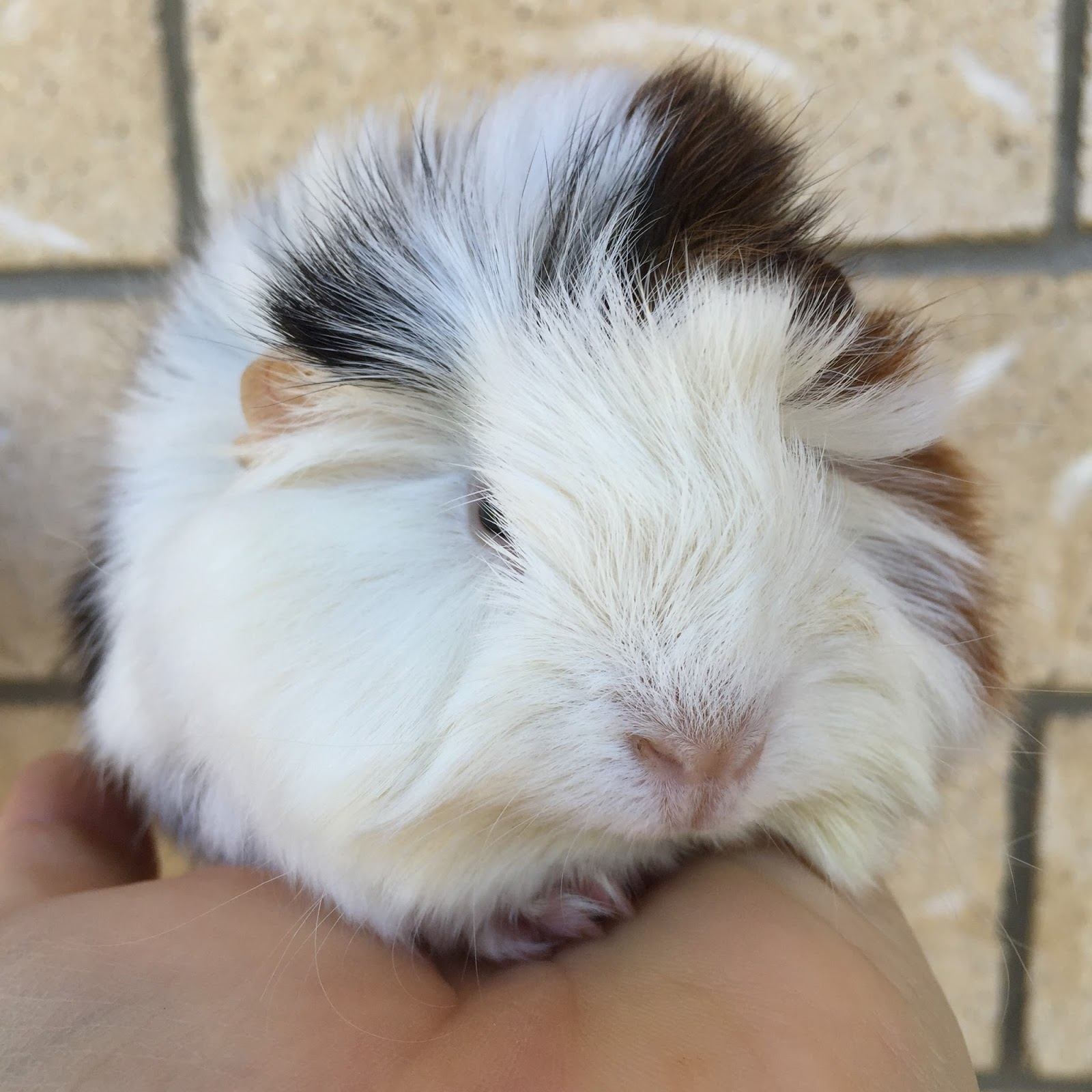 All Things Guinea Pig: Peruvian baby boy