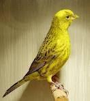 Keturunan dan Persilangan burung kenari