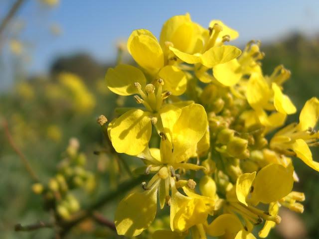 Flores-del-jaramago-Diplotaxis-virgata