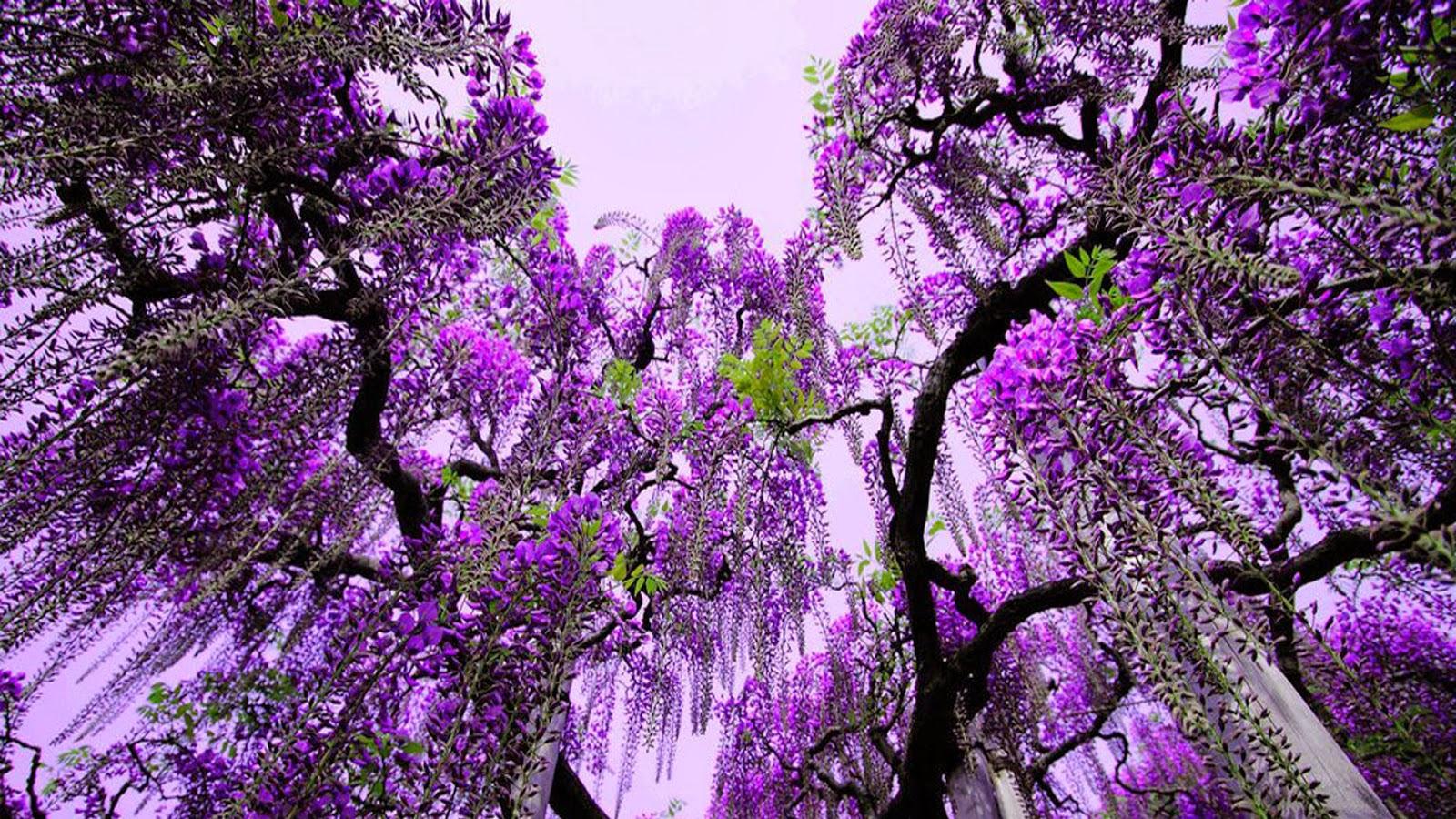 جمال الزهور اليابانية