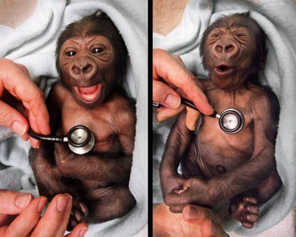 funny animal pictures, baby gorilla stethoscope