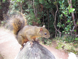 Red Tree Squirrel at Volcan Poas