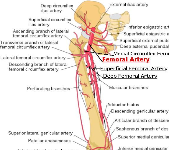 femoral_artery, Cephalic Vein