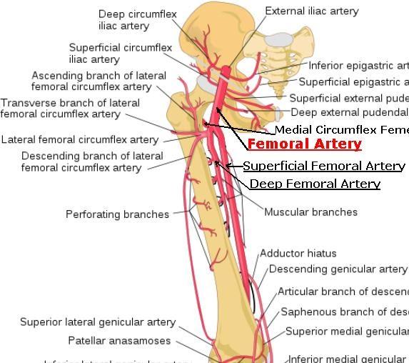 Femoral artery surface anatomy