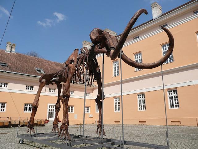 Mammut fossile Kikinda