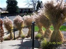 When To Cut Ornamental Grasses Jeffco gardener cutting and disposal of tall dry ornamental cutting and disposal of tall dry ornamental grasses by gardener dave workwithnaturefo