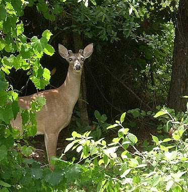 The deer that hang in my yard