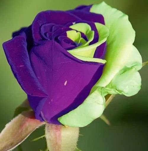purple green mix rose bud most beautiful. Black Bedroom Furniture Sets. Home Design Ideas