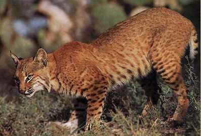 ~Anthros~ Bobcat%2520photo