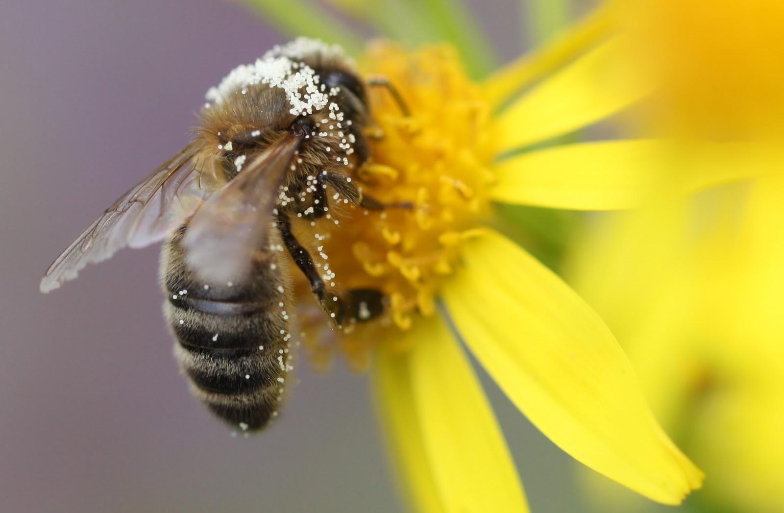 http://1.bp.blogspot.com/-5MnsklW_2tY/UVKoQELwKUI/AAAAAAAAAMc/WqGkNGJsWd8/s1600/honeybee+on+ragwort.JPG