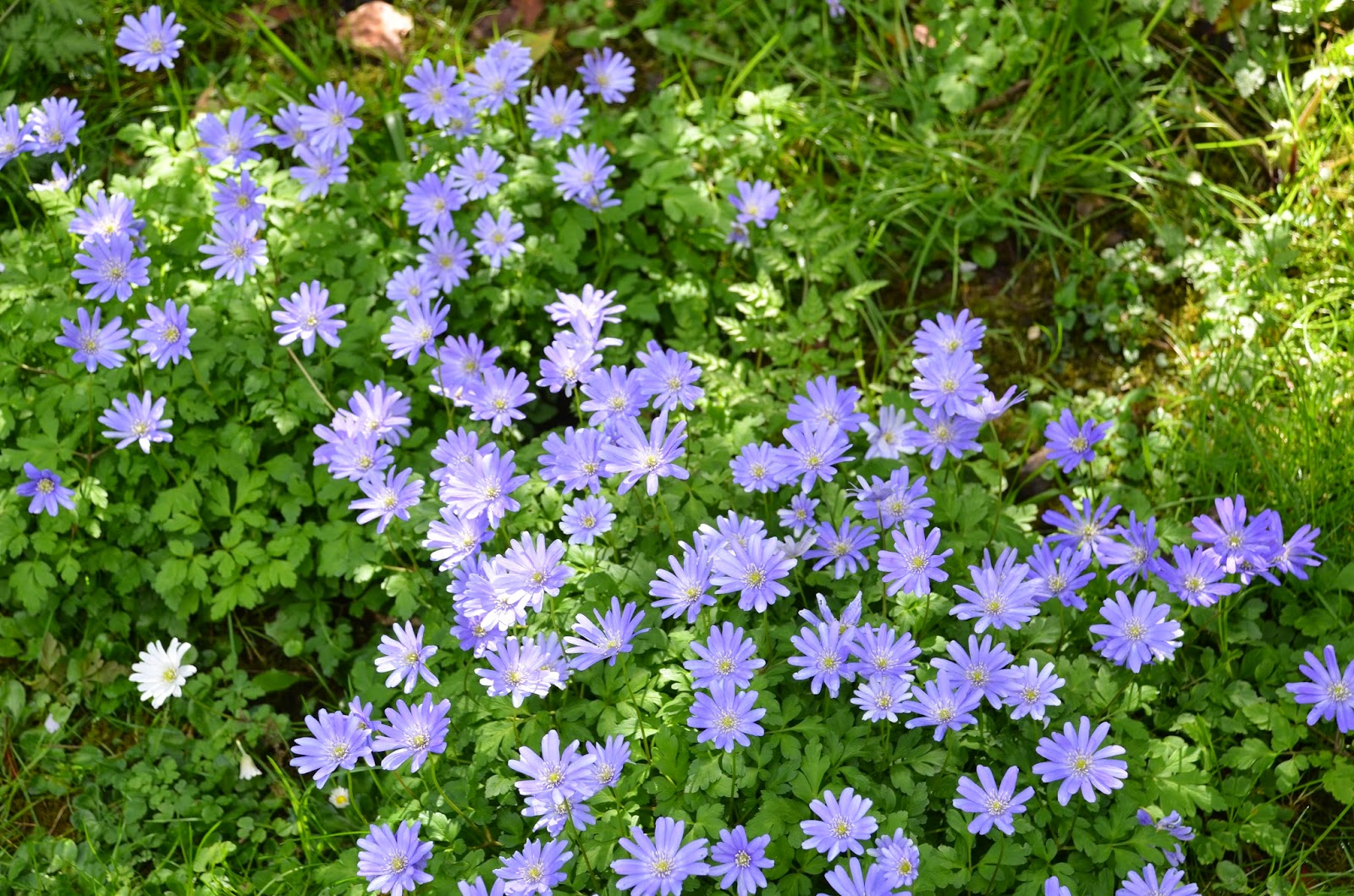THE WINDFLOWER Anemone blanda The Garden of Eaden