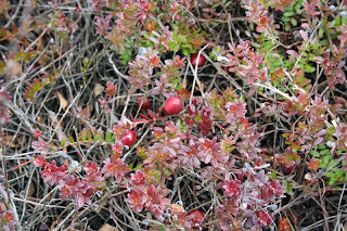 Cranberries, Whitefish Point, MI