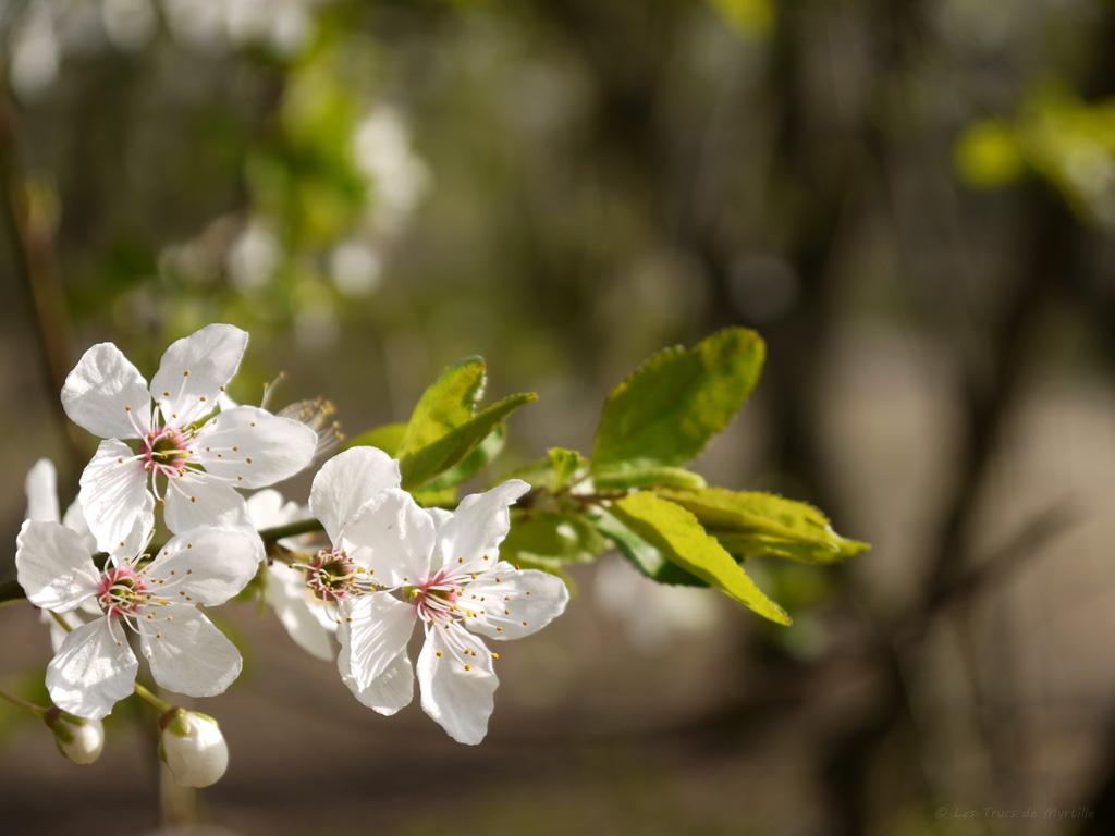 Les trucs de myrtille fonds d 39 cran avril 2012 avec et sans calendrier - Fleur commencant par t ...