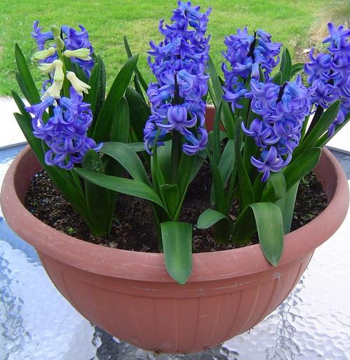 Arte y jardiner a las plantas bulbosas y tuberosas for Plantas perennes para jardin