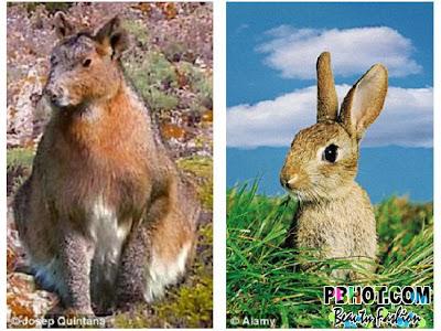 史前巨兔 6倍:史前巨兔比現在兔子大6倍的米諾卡島兔王 Nuralagus rex