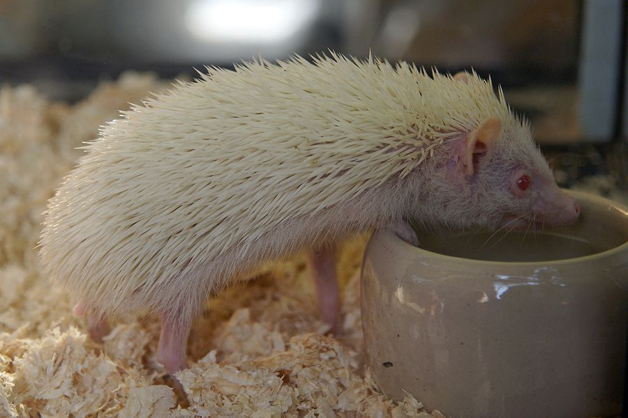 8. Albino hedgehog by Trobken