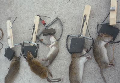 Chuột sập bẫy