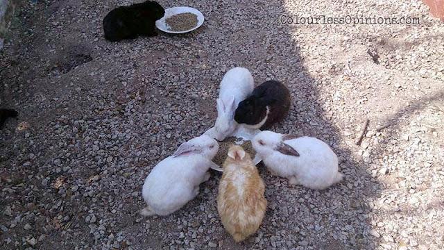 Zenxin Organic Farm rabbits