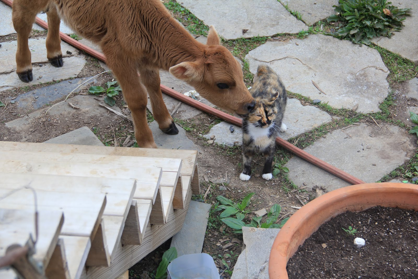 Calf and Cat!