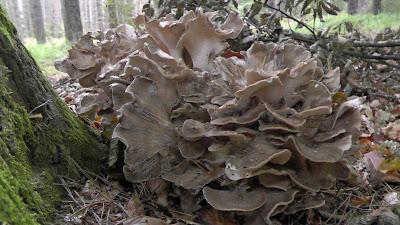 pilze sammeln und pilze bestimmen blog pilzsaison 2011 f r steinpilze geht weiter. Black Bedroom Furniture Sets. Home Design Ideas