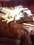 Zorro, 150cm, 6kg, male Iguana Iguana