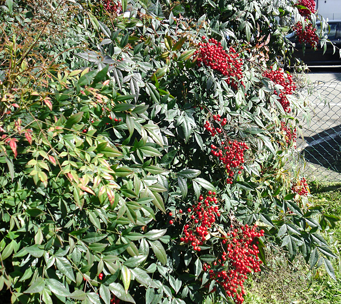 Hortus italicus nandina domestica thunb for Pianta nandina