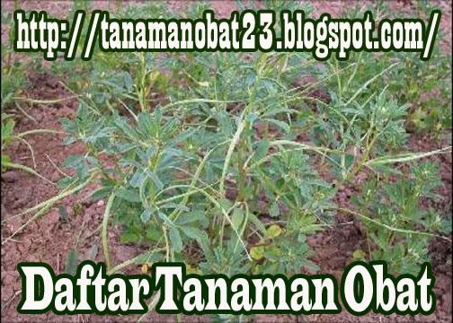 Tanaman Obat Klabet (Trigonella foenoem-graecum