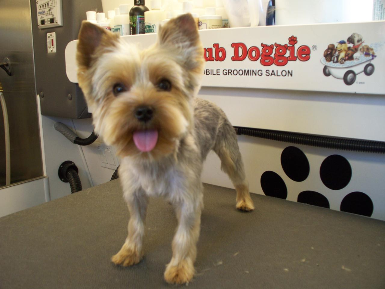 Shear Perfection: Yorkshire Terriers: little dogs, big