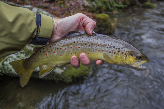 Brown Trout on Little River in the Great Smoky Mountains National Park