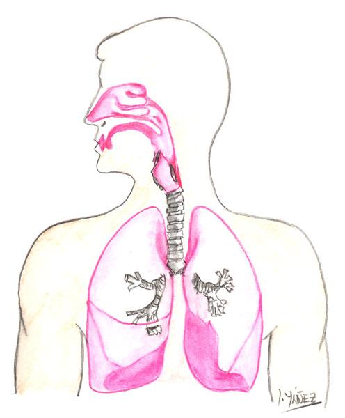 ... en el dibujo tomando en cuenta las partes del sistema respiratorio