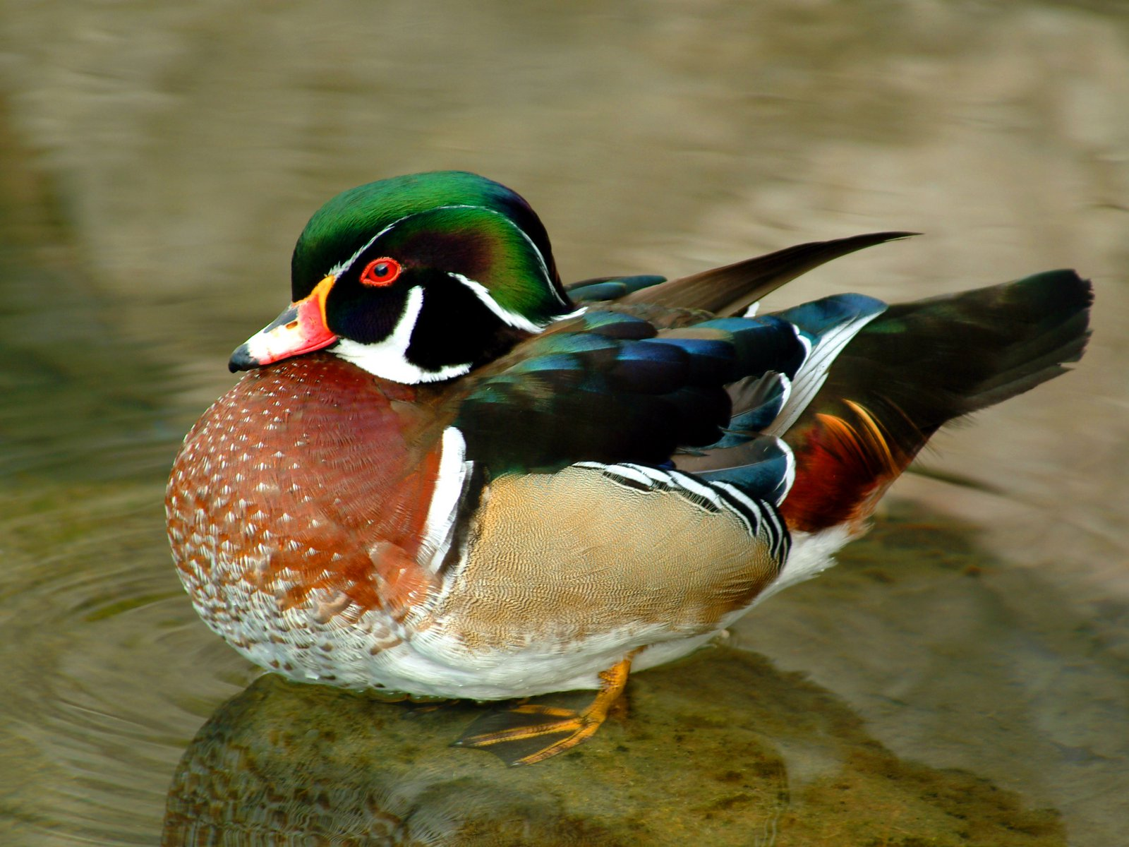 wood and mallard ducks Puddle ducks are typically birds of fresh,  the wood duck is the most numerous breeding duck in ohio and second only to the mallard in terms of harvest in ohio.