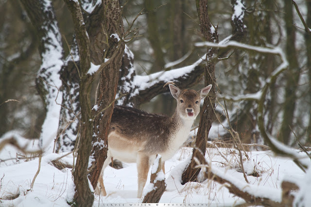 Damhert in de sneeuw - Fallow Deer in the snow - Dama dama
